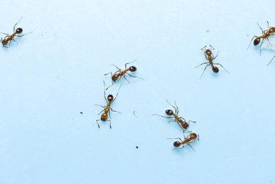 Nicht nur chemische Gifte helfen Ihnen gegen Ameisen.