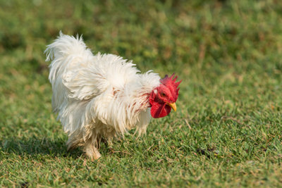Es gibt viele verschiedene Hühnerrassen.