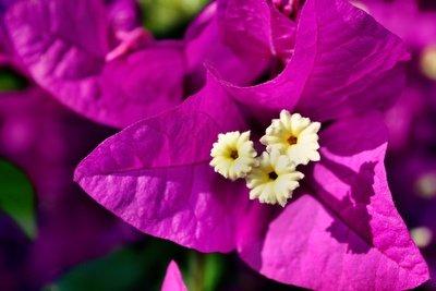 Die Bougainvillea ist eine schöne Kübelpflanze.