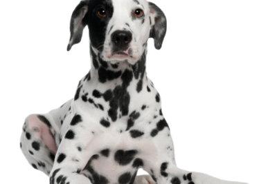 Dalmatiner haben keine Unterwolle.
