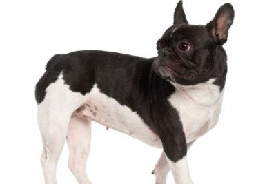 Die Französische Bulldogge ist flachgesichtig.