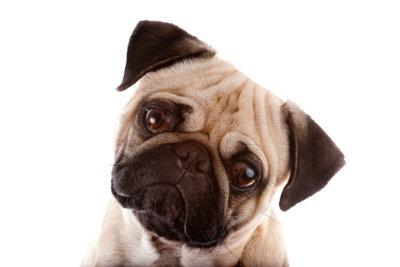 Der Mops ist ein kleiner und agiler Hund.