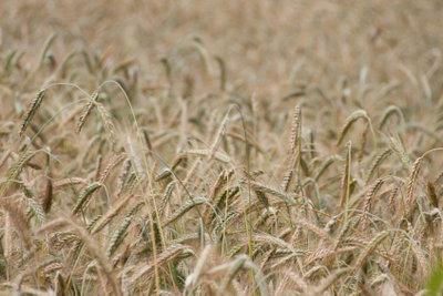 Weizen enthält das Klebereiweiß Gluten.