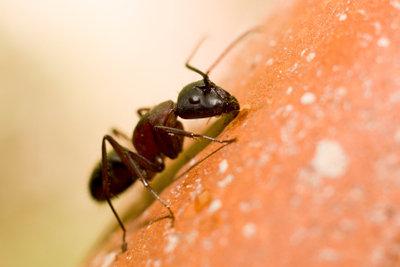 Ameisen können im Garten zur Plage werden.