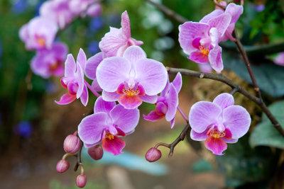 Die Phalaenopsis ist eine beliebte Orchideenart.