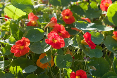 Kapuzinerkresse gehört zu den rankenden Pflanzen.
