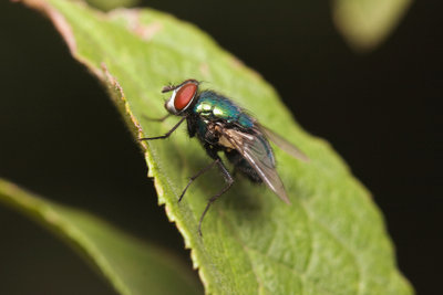 Fliege oder Mücke?