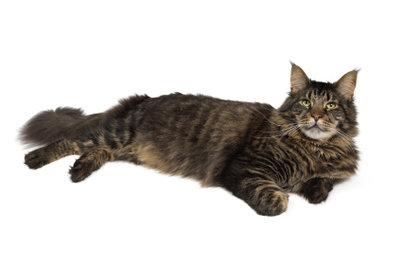 Langes Katzenfell sollte regelmäßig gekämmt werden.