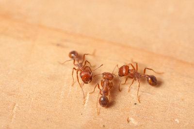 Ameisen in der Wohnung sind unangenehm.