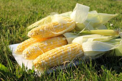 Frisch geerntete Maiskolben zum Essen