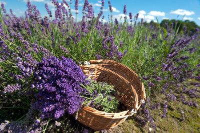 Gepflückter Lavendel im Korb