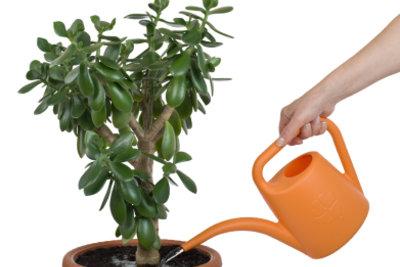 Maßvolles Gießen kann Schimmel auf der Blumenerde verhindern.