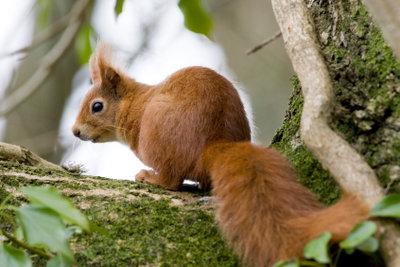 Das Eichhörnchen taucht in Sprichwörtern auf.