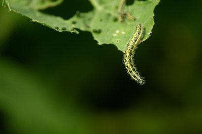 Kaum zu sehen - Raupen können sich auch tarnen