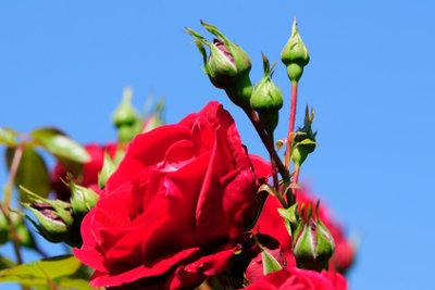 Rote Rosen und ihre Bedeutung in der Blumensprache