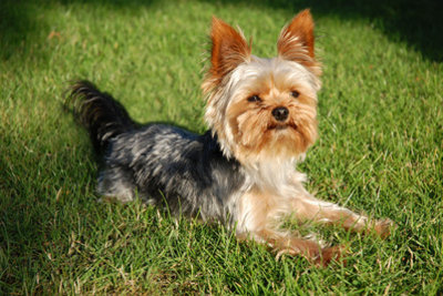 Der Yorkshire Terrier ist ein Jagdhund.