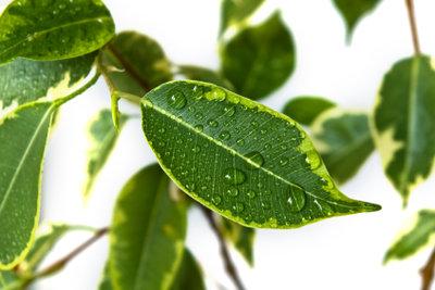 Zimmerpflanzen können die Raumfeuchte positiv beeinflussen.