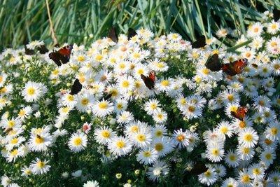 Diese Blütenpracht schmückt viele Gärten.