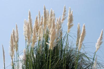 Pampasgras sollte richtig gepflegt werden.