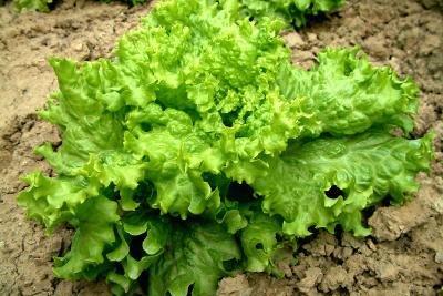 In Blattsalat ist viel Vitamin K enthalten.