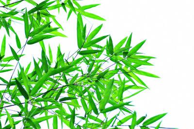 Den Bambus Phyllostachys erkennen Sie an seinen Blättern.
