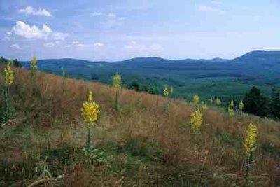 Die Königskerze gehört zu den schleimlösenden Heilpflanzen.
