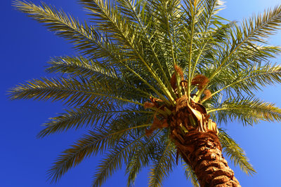 Dattelpalmen sind attraktive Pflanzen für drinnen und draußen.