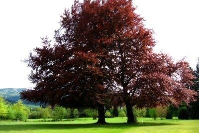 Die Blutbuche ist ein königlicher Baum.