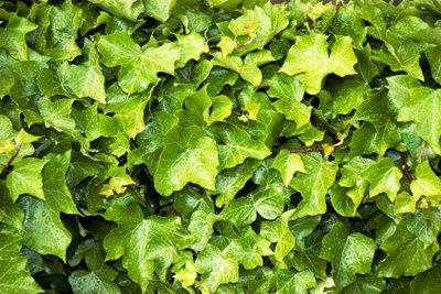 Alle Pflanzenteile von Efeu sind giftig.