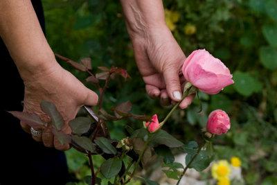 So schneiden Sie die Blumen für einen Strauß richtig ab.