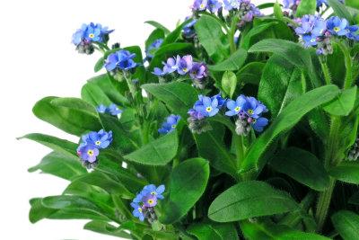 So schön blau blühen Vergissmeinnicht.