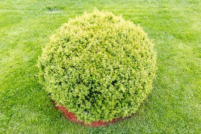 Formschnitt und regelmäßiges Gießen tun dem Buchsbaum gut.