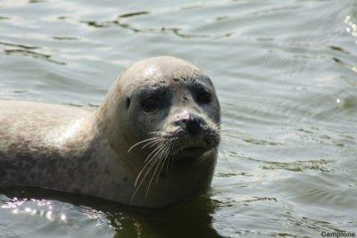 Auf den Nordseeinseln können Sie Seehunde beobachten.