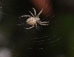 Giftige Spinnen Deutschland