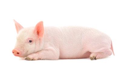 Schweine sind grundsätzlich Allesfresser.