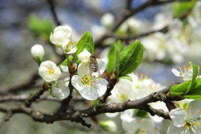 Aus jeder Blüte wird am Apfelbaum ein Apfel.