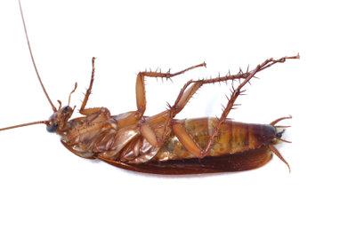 Die Kakerlake bevorzugt eine feuchtwarme Umgebung.