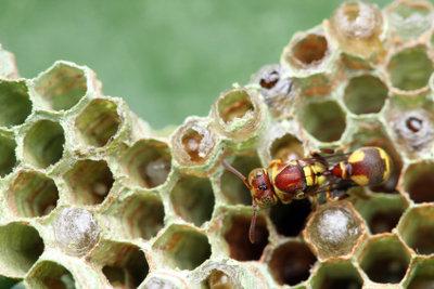 Ein Wespenvolk überlebt den Winter nicht.