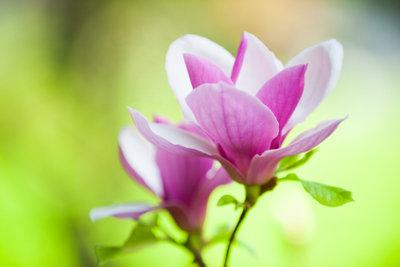 Die Blüten der Magnolie sind sehr attraktiv.