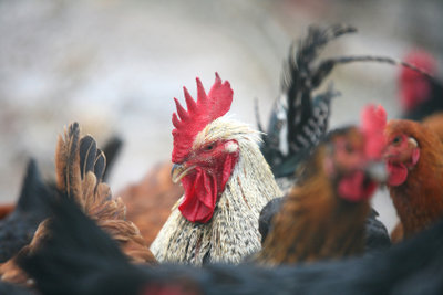 Gesunde Hühner, dank gesundem Futter.