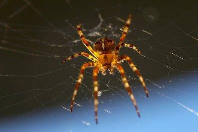 Wenn Sie eine Spinne verschlucken, besteht keine Gefahr.