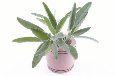 Salbei in Tees oder Umschlägen kann gegen Gürtelrose helfen.