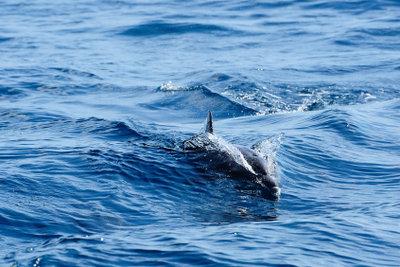 Delfine finden Sie rund um Mallorca.