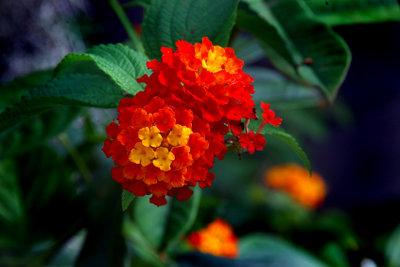 Das hübsche Wandelröschen ist eine giftige Pflanze.