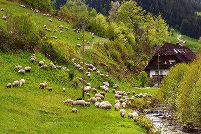 Schafe brauchen viel Platz und Pflege.