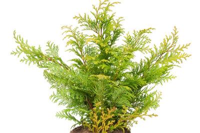 Der Lebensbaum ist eine beliebte Heckenpflanze.