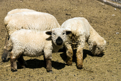 Ihr Baby als Schaf zu verkleiden, ist ganz leicht.