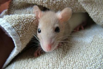Ratten mögen es sauber.