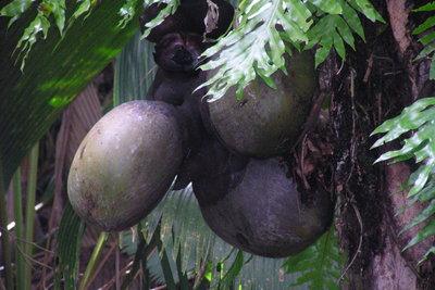 Die Seychellennuss ist ein ungewöhnliches Souvenir.