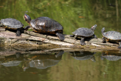 Die Ninja Turtles waren früher normale Schildkröten.